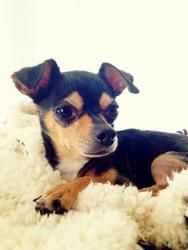 Lulu - Chihuahua/Toy Fox Terrier Mix