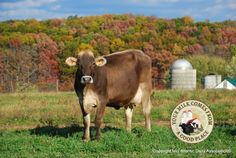 Brown, Red and Orange - This Brown Swiss dairy cow stands out against a backdrop of fall foliage in Berks county, Pa.