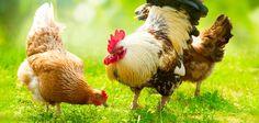 Chicken Dance Day