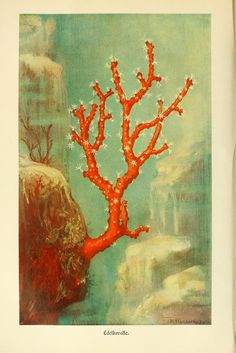 Red coral, Brehms Tierleben: Allgemeine kunde des Tierreichs, Book I, Alfred Edmund Brehm, 1918 version.