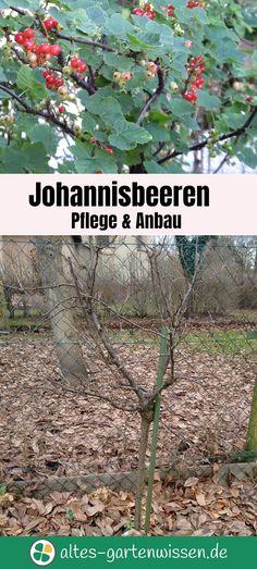 Die Sträucher richtig zu pflegen, ist gar nicht schwer und wird mit süßen Früchten belohnt. #Garten #Johannisbeeren #Obstgarten #Naschgarten