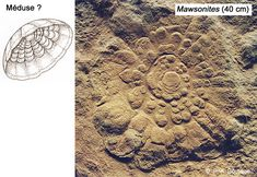 Claims of Ediacara hills (Ediacaran) scyphozoans are controversial, as the fossils are impressions that might represent the holdfasts of other organisms