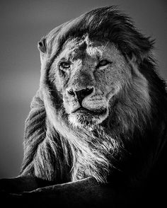 Lion in the Wind 5 by Laurent Baheux