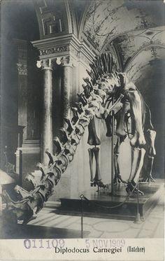 Postcard of Diplodocus carnegiei at the Carnegie Museum, Pittsburgh, PA, 1909.