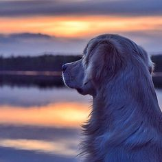 Who doesn't love a good sunset?  @hejddi by ilovegolden_retrievers #lacyandpaws