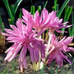 Colchicum autumnale 'Pleniflorum' - ('Roseum Plenum') beautiful, rosy, double flowered, late blooming version of autumnale; Pink Perennials, Fall Mums, Bulbs For Sale, Flower Pictures, Gardening Tips, Garden Landscaping, Pink Flowers, Planting Flowers, Landscape