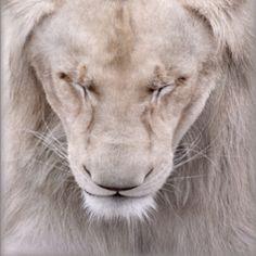 White lion. Pretty...