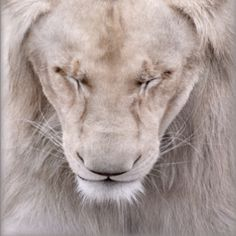White lion. Pretty...