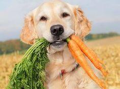 O seu pet gosta de legumes e verduras? Alguns cachorros adoram algumas verduras e principalmente alguns legumes. Eles fazem de tudo para serem presenteados com essas delícias naturais. No entanto, é importante saber que nem todos os vegetais fazem bem à saúde do animal.