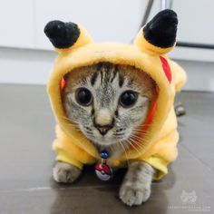 """From @tofu.pok: """"Halloween may be over but @tofu.pok will always be your pikachu!"""" #catsofinstagram by cats_of_instagram"""