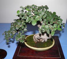 zelkova serrata (Olmo japonés)