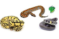 Check out some of our newest additions and explore all our live snakes for sale!   #LiveSnakesForSale #BuySnakesOnline2018 #SnakesforSaleOnline #BallPythonBreeder #BestBallPythonBreeders #Snake