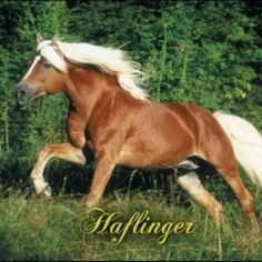 Haflinger-a thing of beauty
