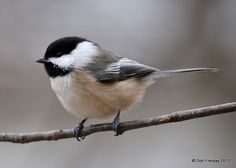 View from the Cape: Chickadee I.D.