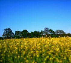 Gelbes Feld + Blauer Himmel