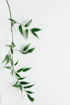 Italian Ruscus leaves on white by Kristin Duvall - Italian Ruscus, Leaf - Stocksy United Plant Wallpaper, Flower Wallpaper, Wallpaper Backgrounds, Plant Aesthetic, White Aesthetic, Aesthetic Iphone Wallpaper, Aesthetic Wallpapers, Design Patio, Italian Ruscus