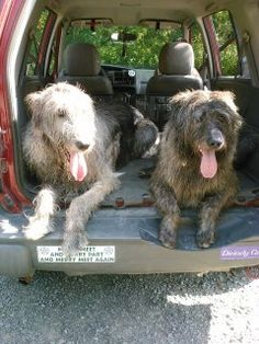 Irish Wolf hounds....cant wait for the day til I own one. <3 seriously love this breed. Gentle giants!