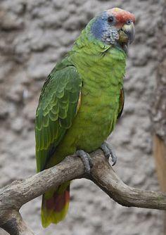 papagaio de cara roxa_amazona brasiliensis Brazilian Birds                                                                                                                                                      Mais