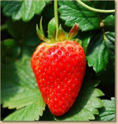 Taking Care of Your Strawberry Patch