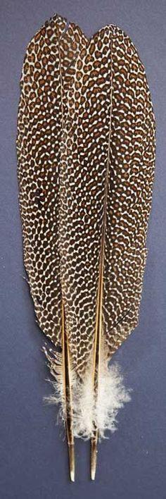 Argus Pheasant Feathers |