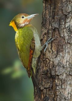 The Greater Yellownape (Picus flavinucha) is a species of bird in the Picidae family. It is found in Bangladesh, Bhutan, Cambodia, China, India, Indonesia, Laos, Malaysia, Myanmar, Nepal, Thailand, and Vietnam. Its natural habitats are subtropical or tropical moist lowland forests and subtropical or tropical moist montane forests.