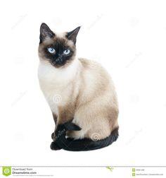 Thai Or Siamese Cat Stock Photo - Image: 30351490