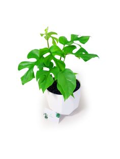 design Match with glazed white pot and monstera minima Personally monstera minima is better to grow with support instead of let them falling trail. White Pot, Plant Design, Plant Care, Potted Plants, Green Colors, House Plants, Herbs, Shapes, Couple