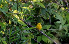 My hubby, John took this picture of a Yellow Warbler taken on the same Gameland ride as the Killdeer. Tammy Taylor-Kosiba's Photography 2013
