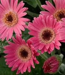 1 Gallon Gerbera Garvinea Sweet Spice Gerber Daisy This Large Daisy Like Rose And White Flowers Bloom On Sturdy Stems From Spring To Frost In 2021 Day Lilies Gerbera Heuchera