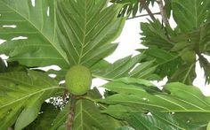 Anda tau manfaat daun sukun? Meski sering dianggap remeh, daun sukun ternyata mengandung beberapa zat alami sangat bermanfaat untuk kesehatan