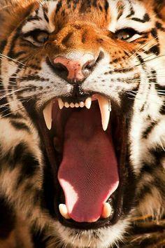 Unhappy looking tiger!