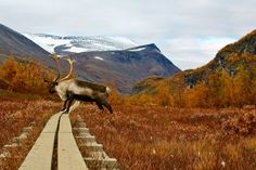 The Kungsleden Trail, Lapland - 270 mile long hiking trail in bleak, beautiful Swedish lapland. Sweden Places To Visit, Places To See, Lappland, Hiking Spots, Hiking Trails, Mountain Hiking, Day Hike, Pilgrimage, Places Around The World