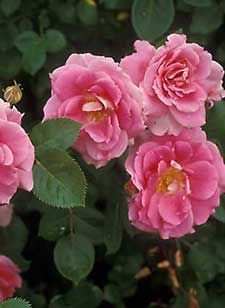 Forever Blooming Rose Bush