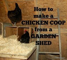 Once the chicks grow up they will need a chicken coop. We converted a shed into a chicken coop with a few modifications for egg laying, roosting and safety