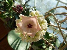 Hoya patella flower inserted into a Hoya latifolia blossom.