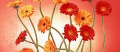 Gerbera Daisy show Flowers For Algernon, Daisy Wallpaper, Gerbera Flower, Flower Art, Nosegay, Bloom Where You Are Planted, Gerber Daisies, Flower Pictures, Amazing Flowers