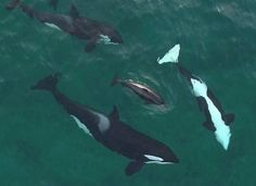 Center of Family Circle. #orcas photo by marco schulenburg