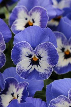 pansy delft blue