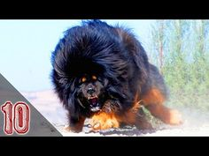 Tibetan Mastiff Biggest and Most Expensive Dog Breed in the World . Giant Dog Breeds, Giant Dogs, Large Dog Breeds, Big Dogs, Large Dogs, Cat Breeds, Cute Dogs, Tibetan Mastiff Dog, Mastiff Dogs