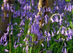 Hyacinthoides non-scripta  ,english bluebell