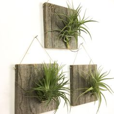 Set of Three LARGE FORM Air Plant and Barn Wood Grab by NiaCraft
