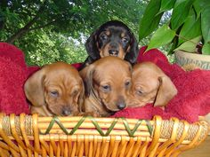 Basket full of Doxies