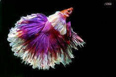 beauty of betta fish