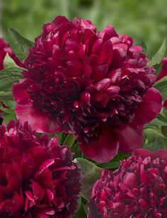 Peony Red Grace is superlative of Peony Red Charm, a huge flower. The flower comes open to a perfect ball shape. The stems are strong enough to hold the flower. The flower has no purple shades.  #peony #peonies #red #grace #redgrace #paeonia #pioen #pioenen #garden #gardening #diy #flower #flowers #huge #stems #strong #purple #shades