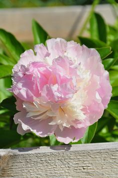 Eden's Perfume | Paeonia lactiflora | By: mimmis_garden | Flickr - Photo Sharing!