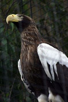 Stellar's Sea-Eagle Wild Photography, Animal Photography, Love Birds, Beautiful Birds, Raptors, Steller's Sea Eagle, World Wild Life, Water For Elephants, Big Bird