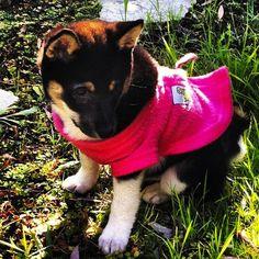 german shepherd puppy in Snuggies