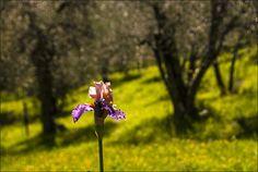 Firenze. Giardino dell'iris - Piero Farolfi - Immagini e parole