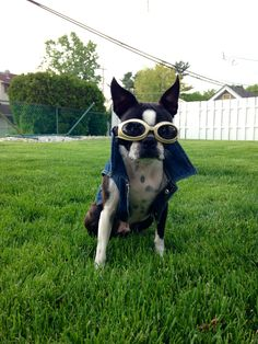 Boston terrier in doggles and a vest!