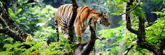Indien_resa_rundresa_tiger_safari_djungel.jpg (1900×640)